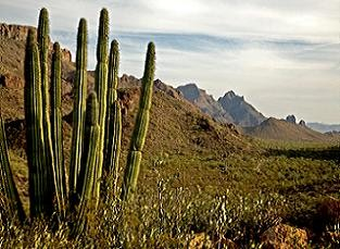 national-parks-of-arizona-01; Picture of Organ Pipe Cactus National Monument
