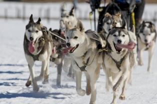 tourist-attraction-in-alaska; alaska sled dogs