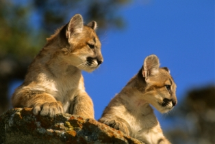 tourist-attraction-in-arizona-02; baby mountain lions