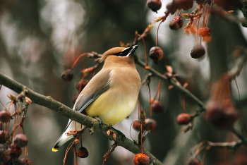 michigan-national-parks;cedar waxwing bird