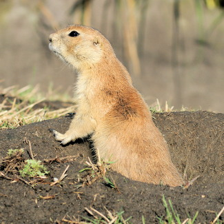 national-parks-of-montana; prairie dog greycliff park
