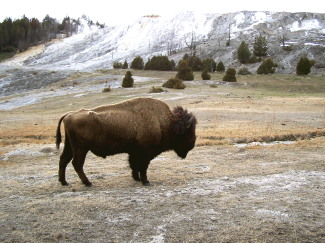visit wyoming; wyoming bison
