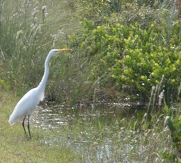 The egret we chased